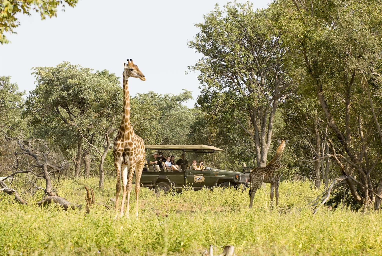 sydafrika-safari-matswani-giraffer